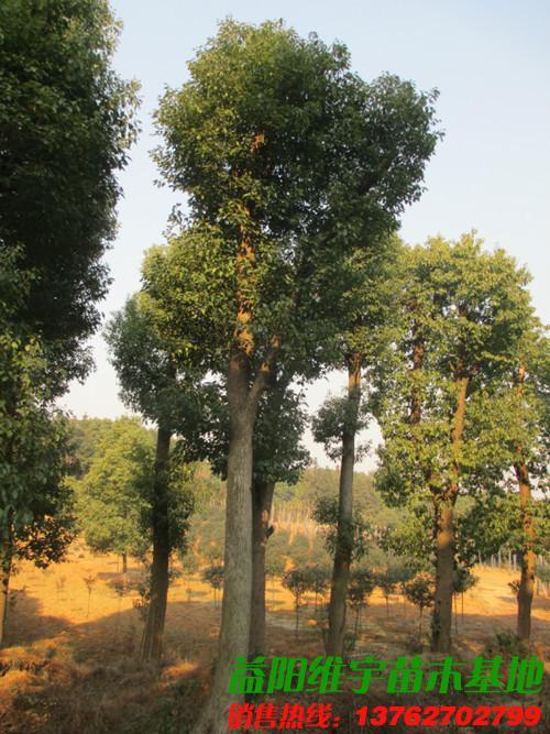 20公分香樟树的园林用途